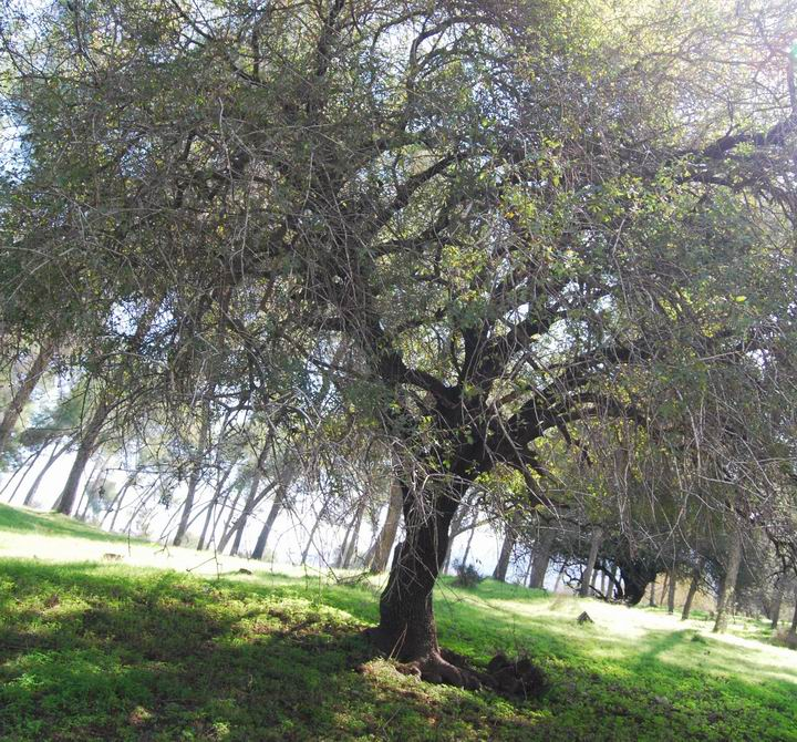 Ma'Alul/Nahalal: ancient tree near cemetery