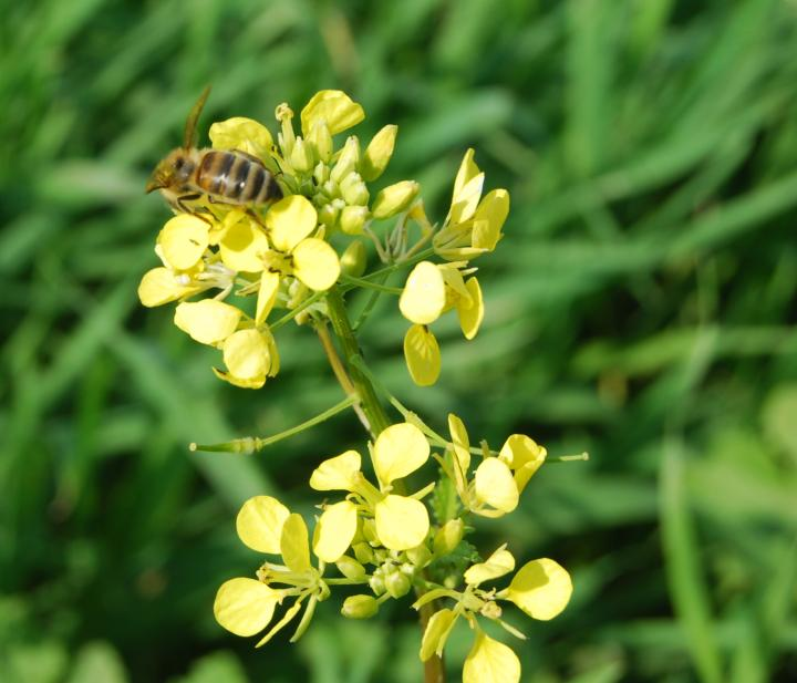 Tell Zavat: Wild mustard and bee