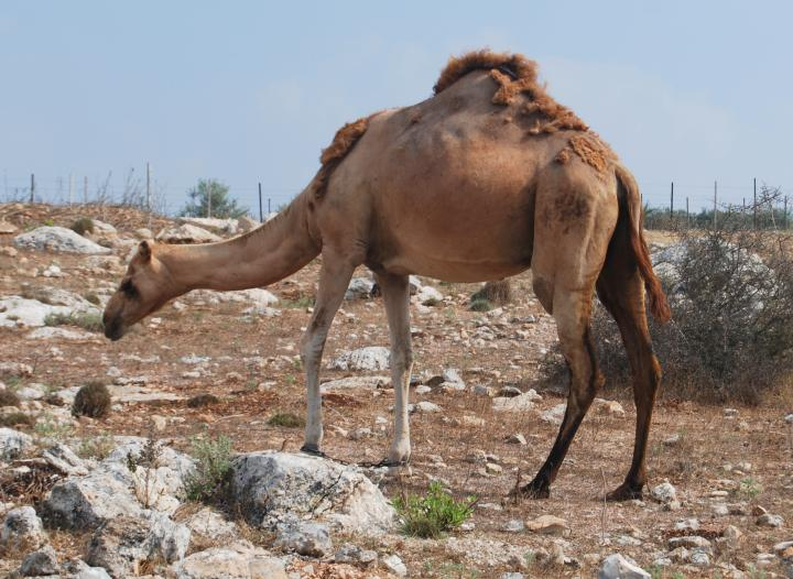 Camel (Gamal in Hebrew) in Zarzir