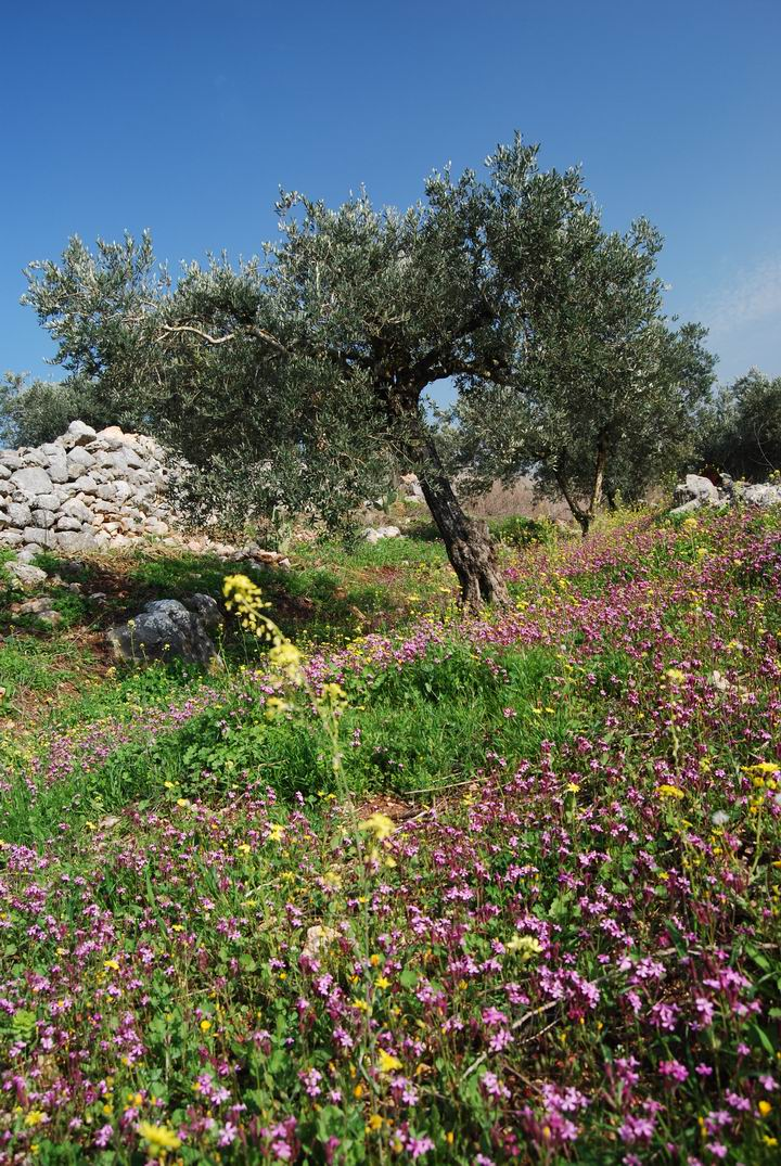 Hurvat (Khirbet) Mehoz : olive trees and wild flowers
