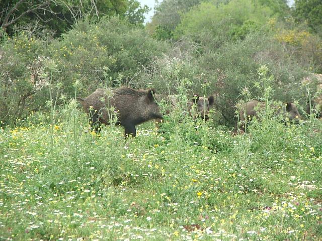 Herd of Swine in the Galilee - Photo by Assaf Yarom